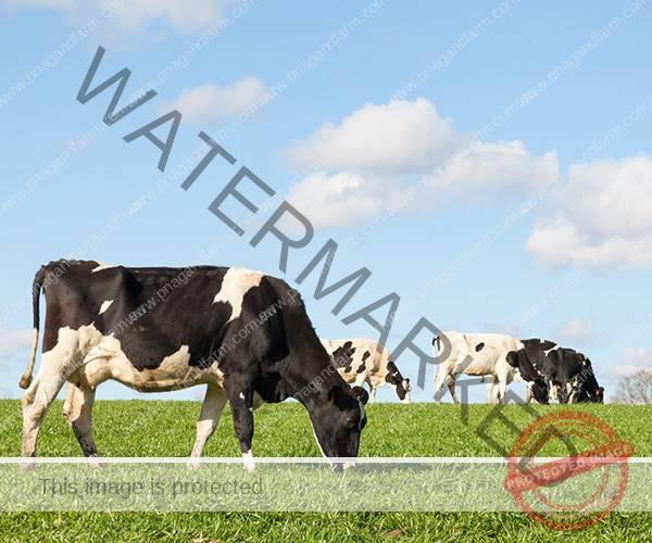 dairycows2b
