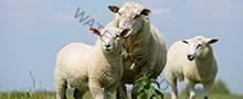 sheep220x90