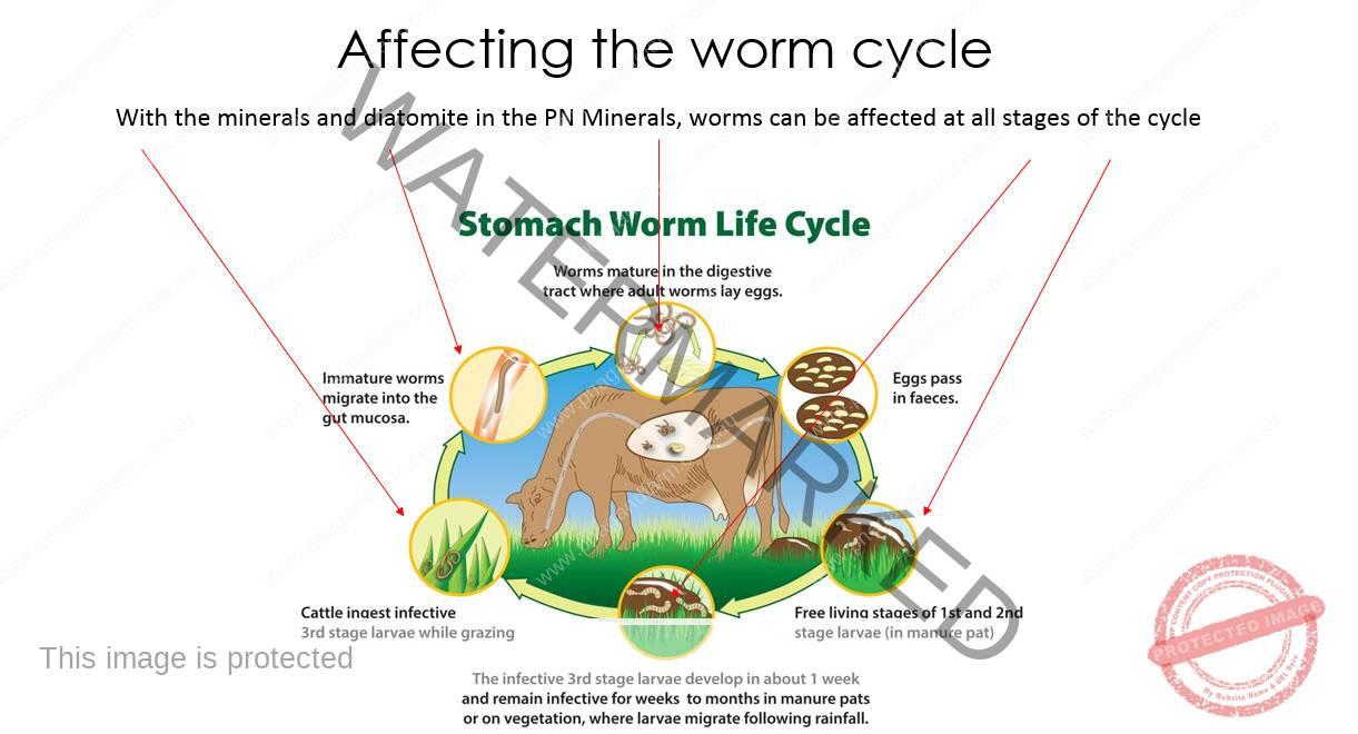 worm-cycle