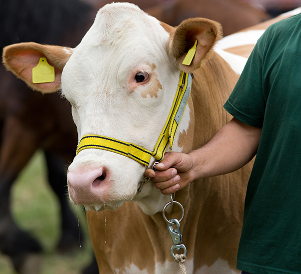 Simmental cow on leash