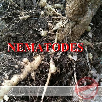 https://www.pnagandfarm.com.au/wp-content/uploads/2016/11/C-nematodes.jpg