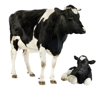 cow_colostrum_header_cow and calf